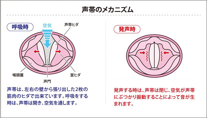 【声帯】声帯の動き、声帯原音のメカニズム